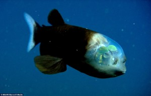 Barreleye fish (Micropinna microstoma)