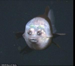 Barreleye fish (Micropinna microstoma) dari depan